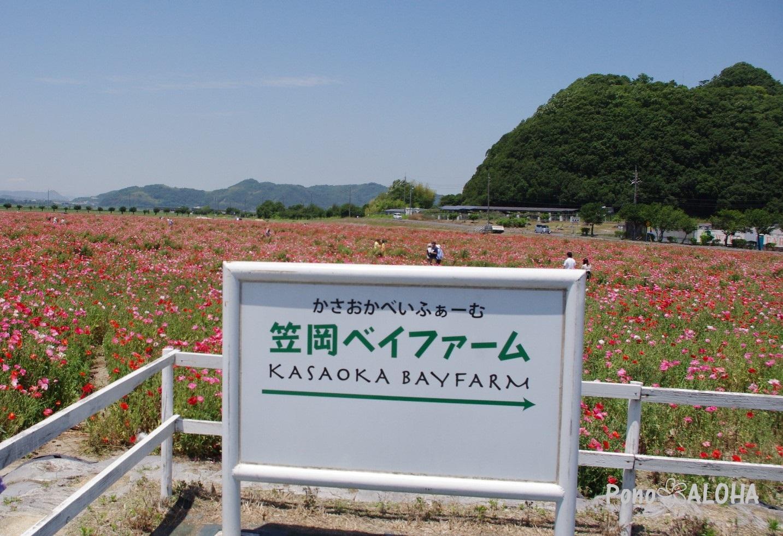 笠岡べいふぁーむ ポピー畑8