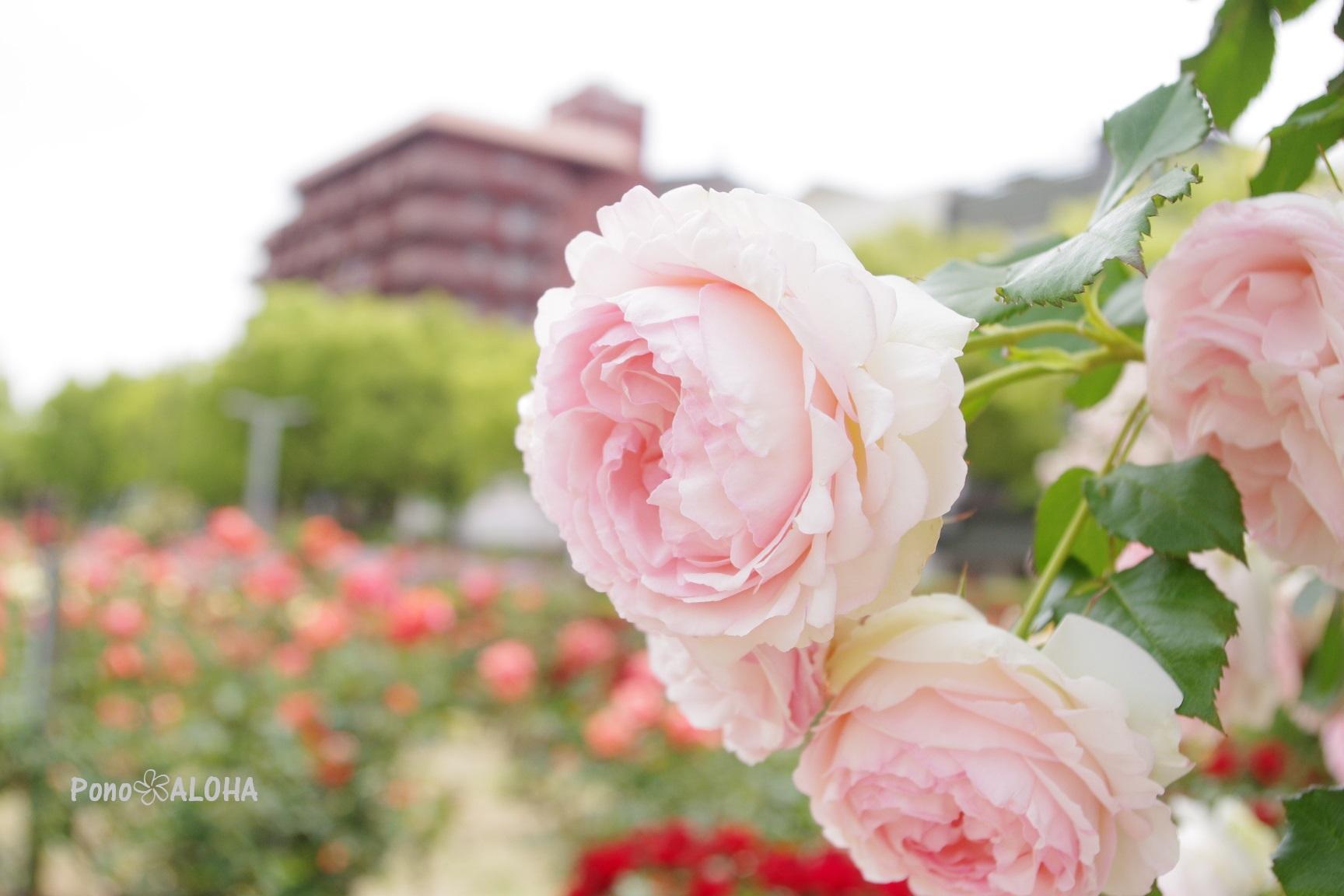 福山ばら公園2020-2
